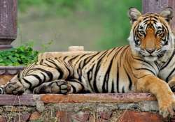 Oldest Tigress Died