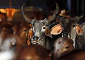 aadhar card for cows- India Tv