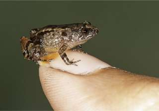 Meet the Miniature Frog that can fit on your Thumb - India TV