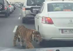 video tiger roars amidst heavy traffic jam in doha