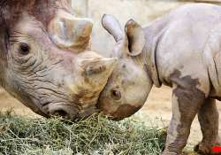 rhino subspecies vanishing from the wild