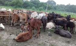 Two held for theft of stray cattle for slaughter in