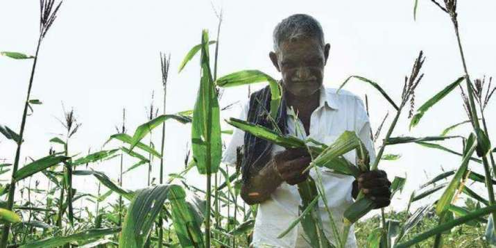 The insect can attack a wide range of crops including rice, sugarcane and vegetables. The occurrence